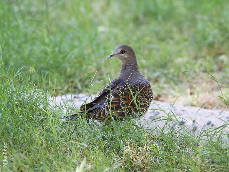 Rufous Turtle Dove