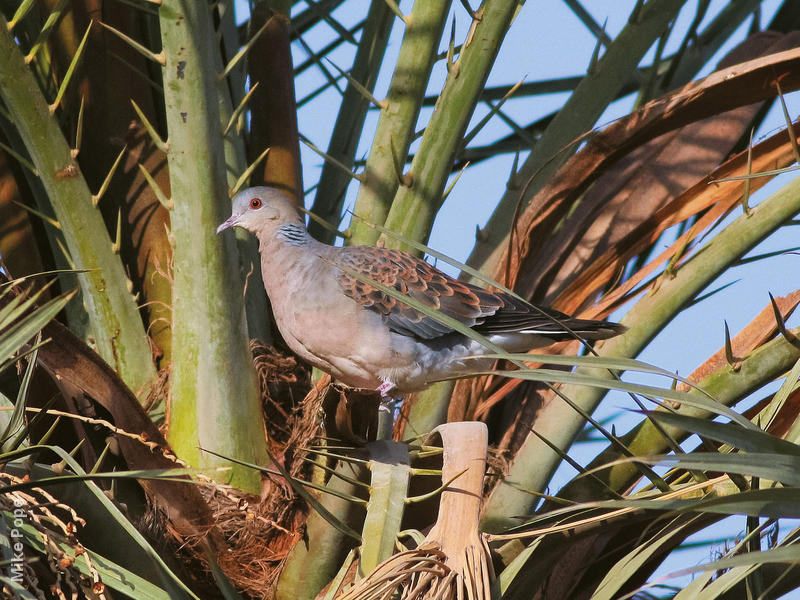 Rufous Turtle Dove