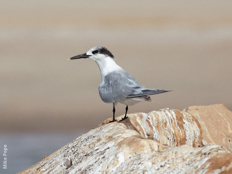 Sandwich Tern (Winter)