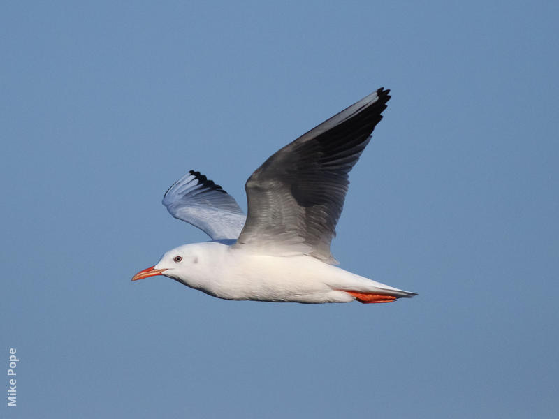 Slender-billed Gull (Winter)