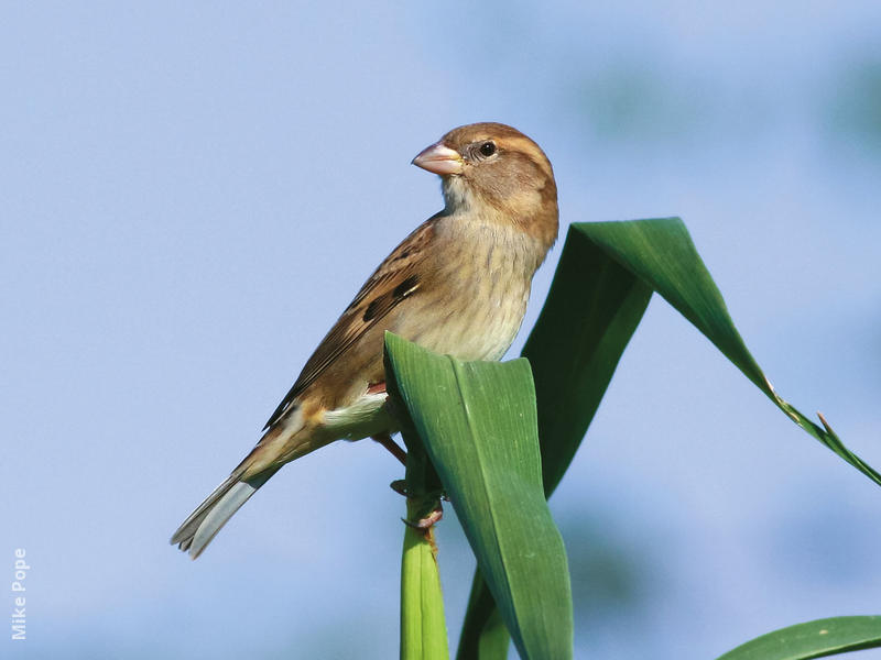 Spanish Sparrow (Female)