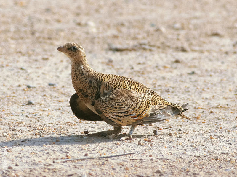 Spotted Sandgrouse (Female)