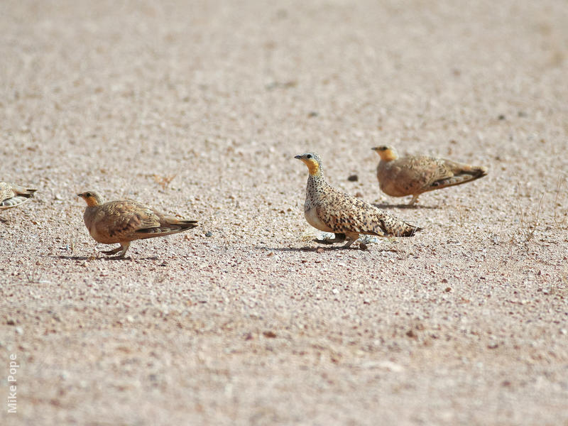 Spotted Sandgrouse (Males, OMAN)