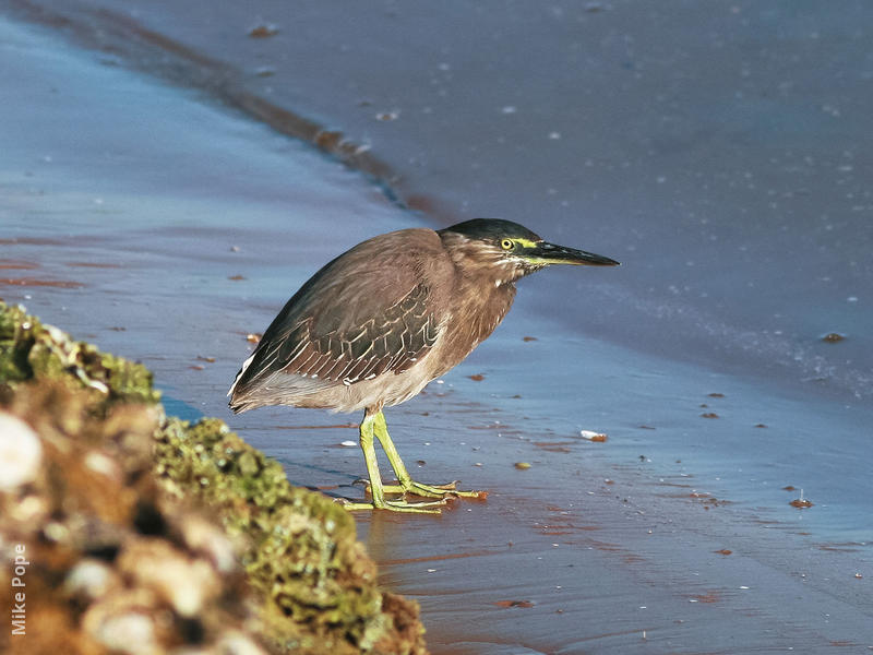 Striated Heron (UAE)