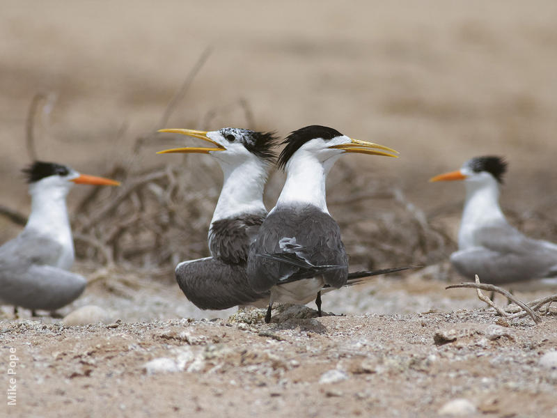 Swift Tern (Nesting colony with Lesser Crested Terns)
