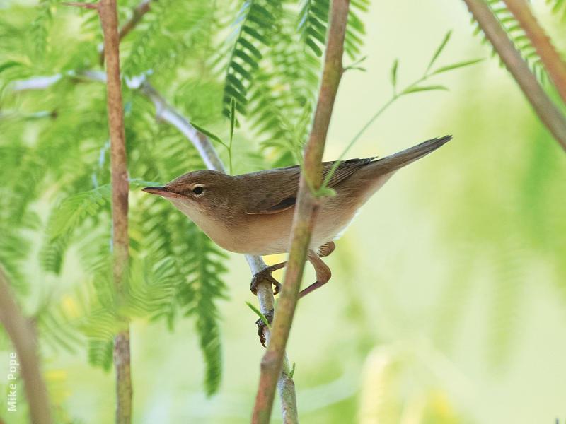 Sykes's Warbler