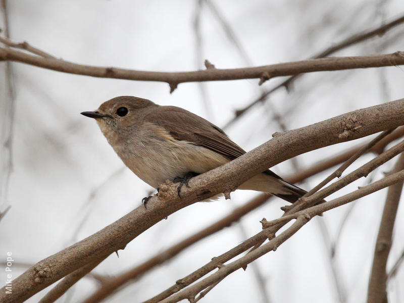 Taiga Flycatcher (2nd record, Dec 2013)