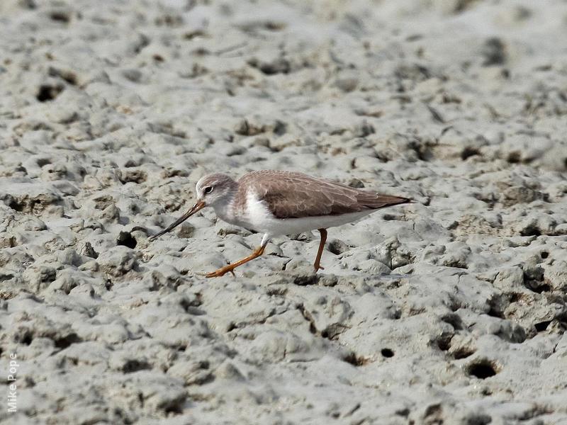 Terek Sandpiper (Non-breeding)