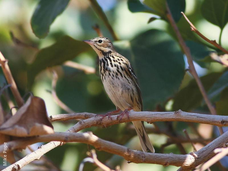 Tree Pipit (Non-breeding plumage)