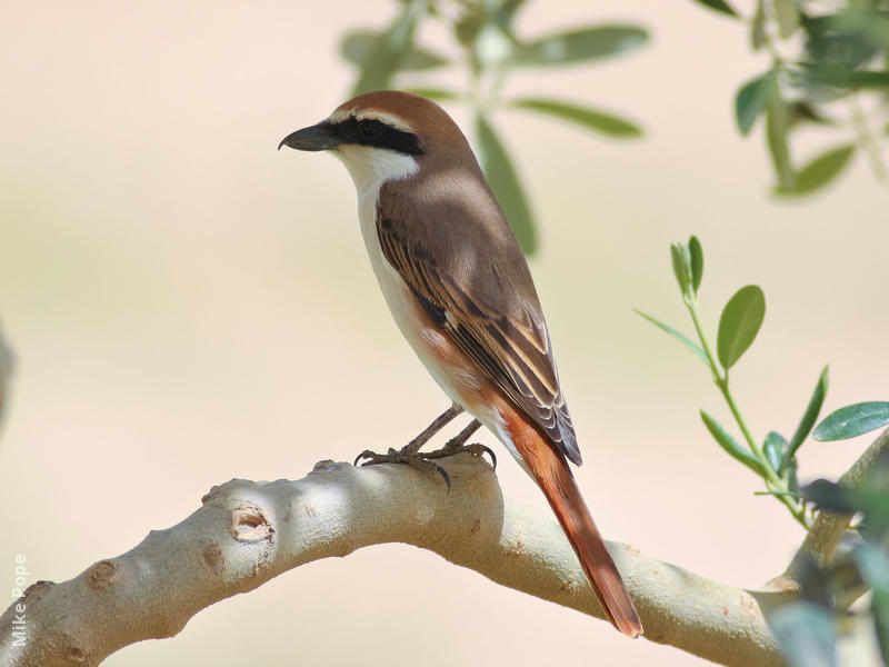 Turkestan Shrike (Male breeding plumage)