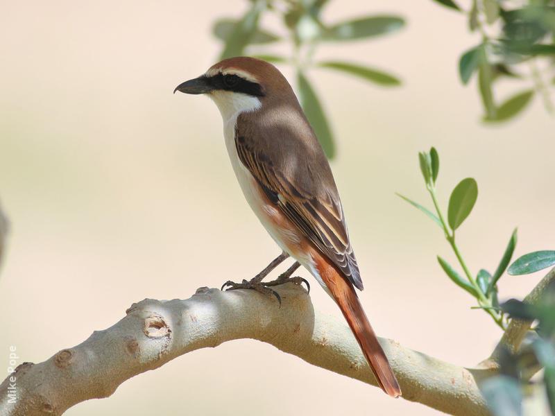 Turkestan Shrike (Male breeding plumage)