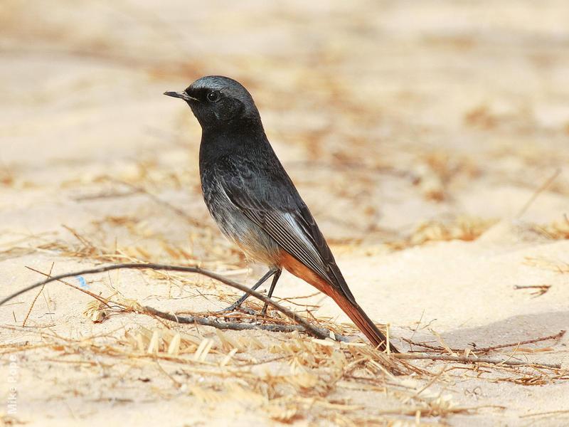 Western Black Redstart (Male)