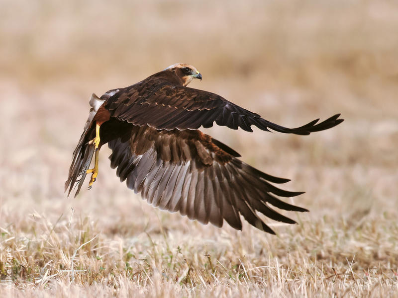 Western Marsh Harrier (Immature)