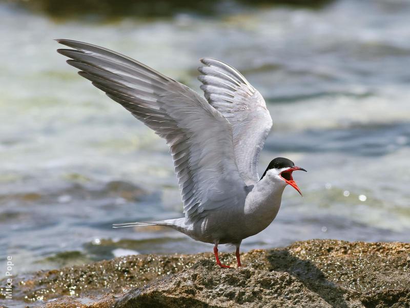 White-cheeked Tern (Breeding plumage)