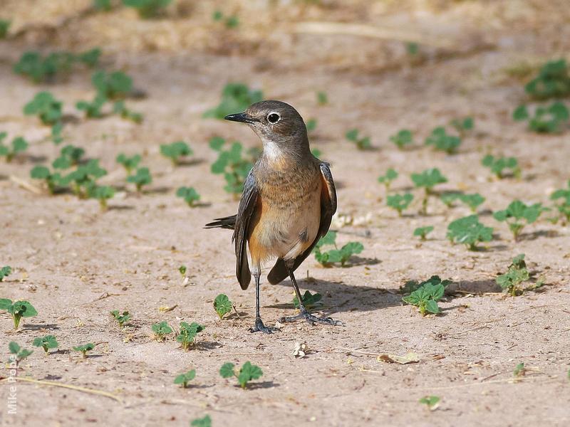 White-throated Robin (Female or winter male)