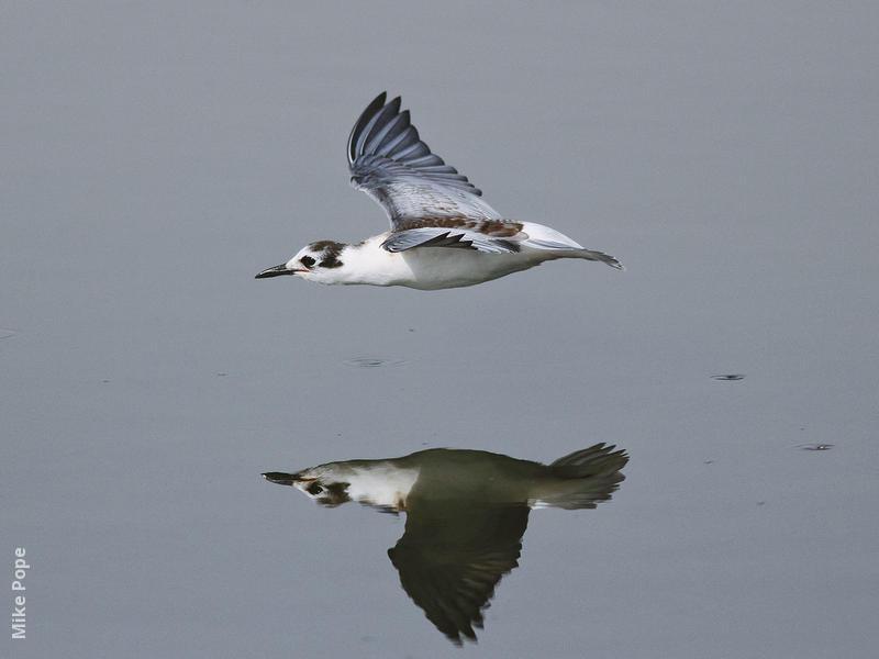 White-winged Tern (Immature)