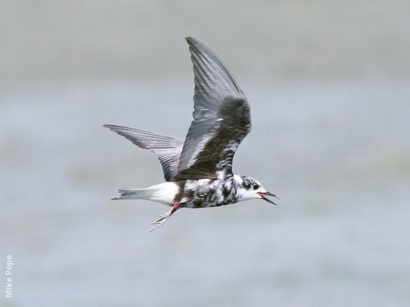 White-winged Tern (Moulting early autumn)