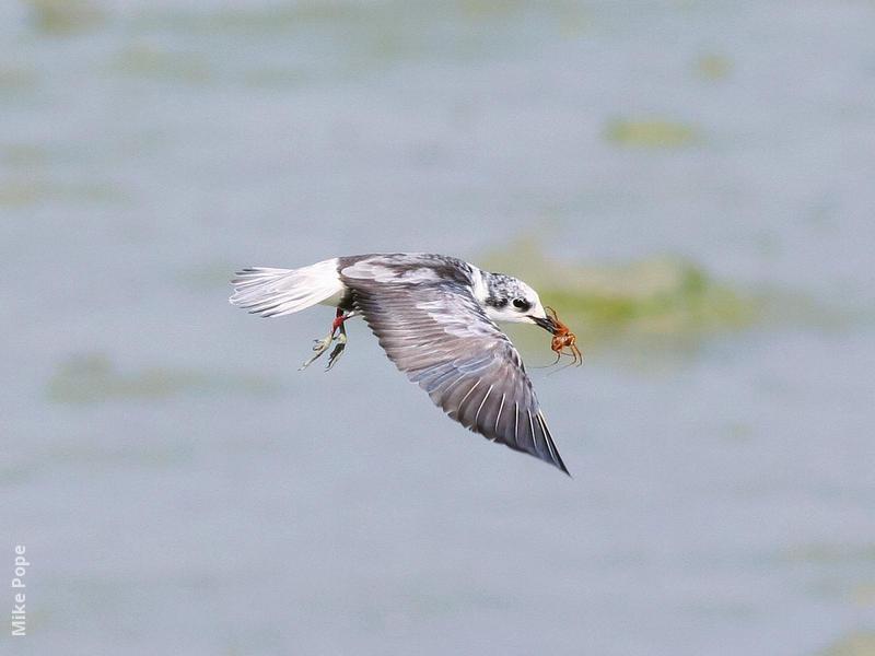 White-winged Tern (Winter)