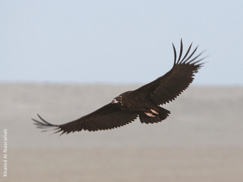 Cinereous Vulture (Immature)