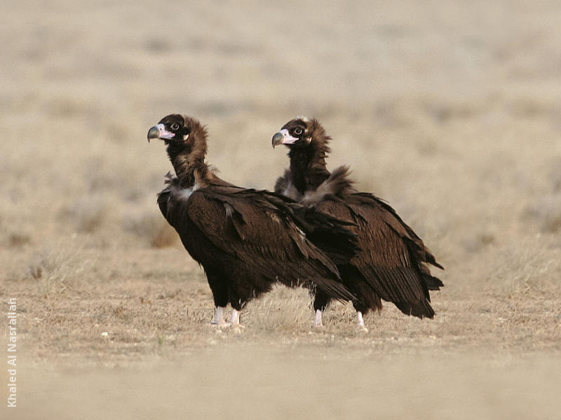Cinereous Vulture (Immatures)