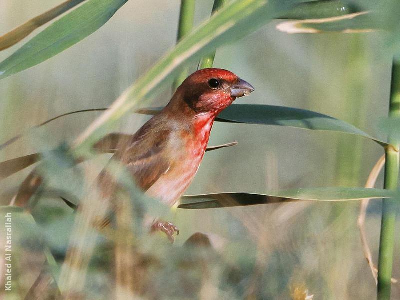 Common Rosefinch (Male)