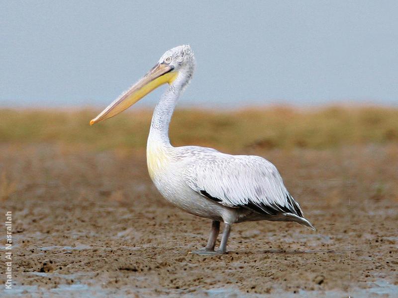 Dalmatian Pelican (Immature)