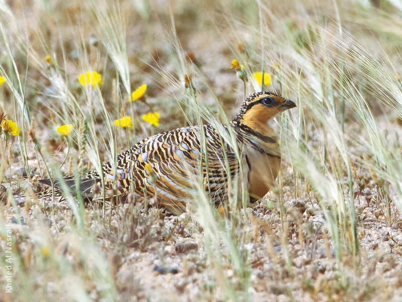 Pin-tailed Sandgrouse (Female)