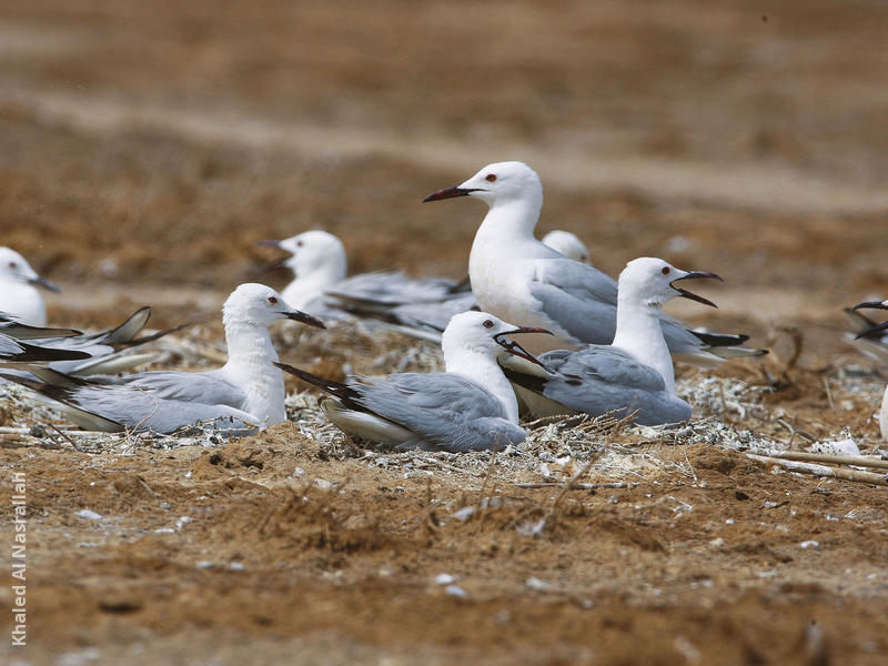 Slender-billed Gulls (Nesting colony)