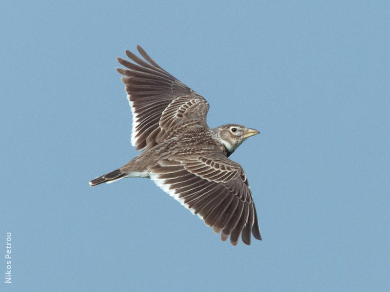 Calandra Lark (GREECE)