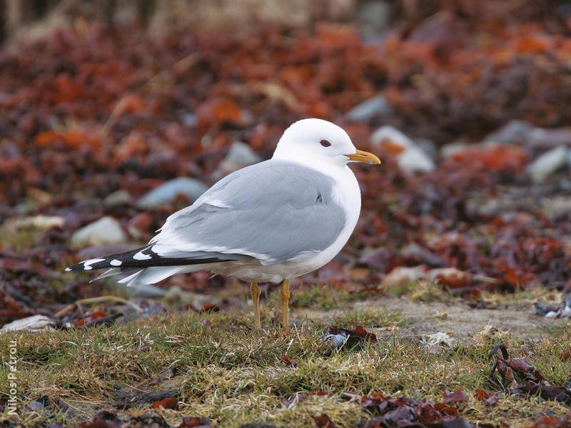 Common Gull (Breeding plumage,FINLAND)