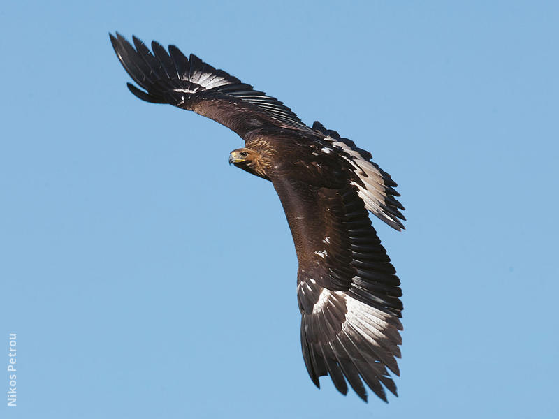 Golden Eagle (Immature, GREECE)