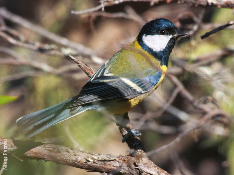 Great Tit (CYPRUS)