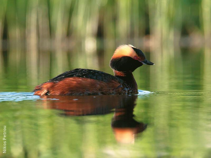 Horned Grebe (Breeding plumage,FINLAND)