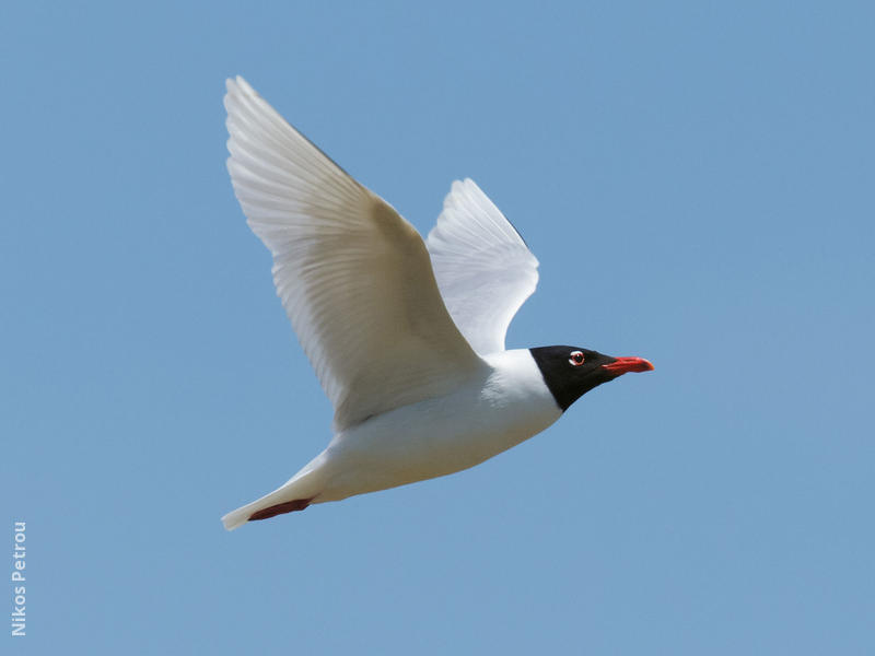 Mediterranean Gull (Breeding plumage, GREECE)