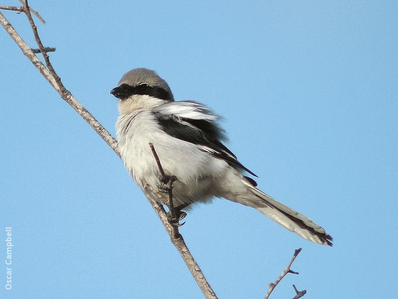 Arabian Grey Shrike (UAE)