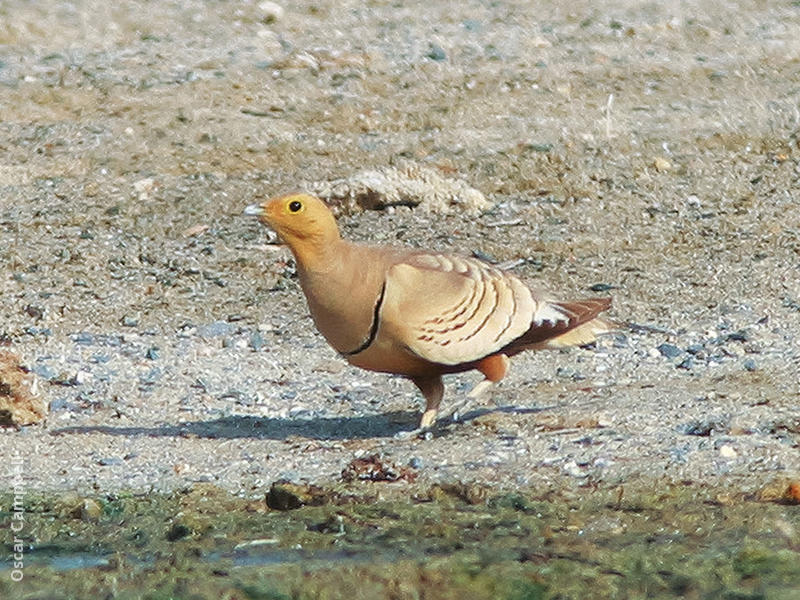 Chestnut-bellied Sandgrouse (Male,OMAN)