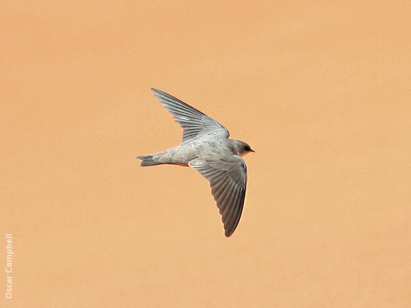 Pale Crag Martin (UAE)