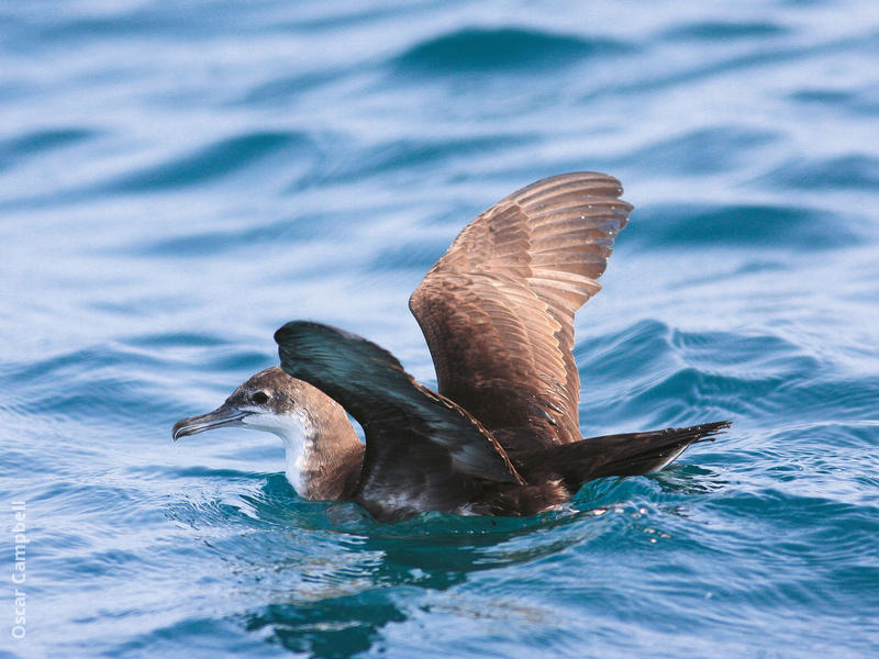 Persian Shearwater (UAE)