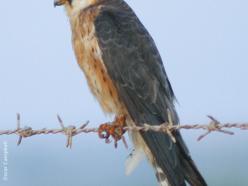 Red-footed Falcon (Female, UAE)
