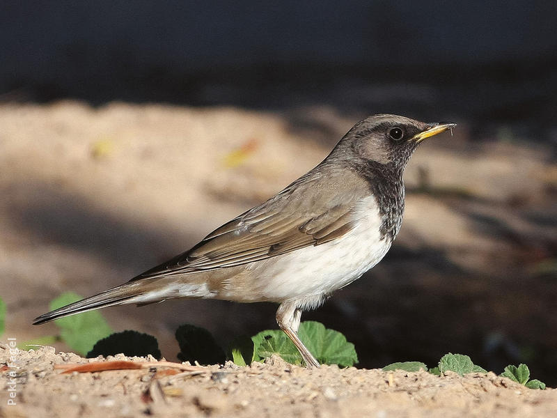 Black-throated Thrush (Male)
