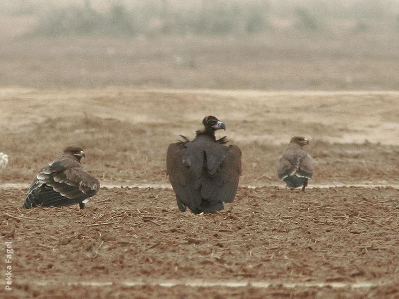 Cinereous Vulture (Immature with Steppe Eagles)