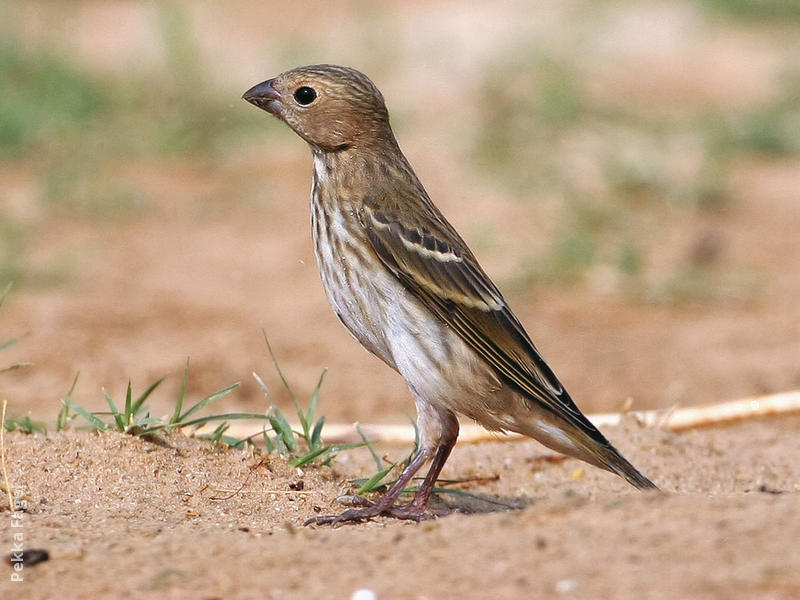Common Rosefinch (Female or immature)