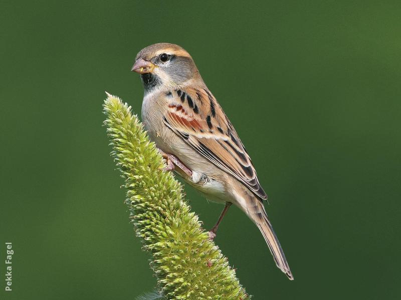 Dead Sea Sparrow (Male)