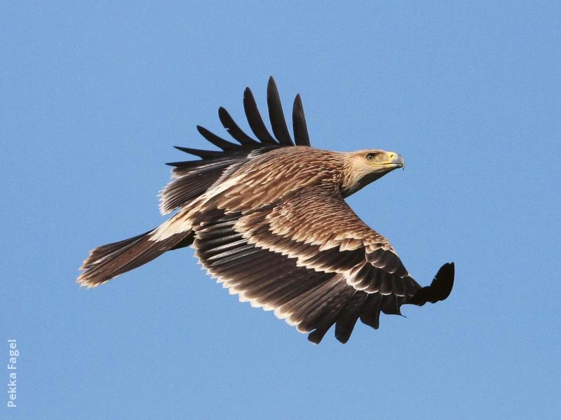 Eastern Imperial Eagle (Immature)