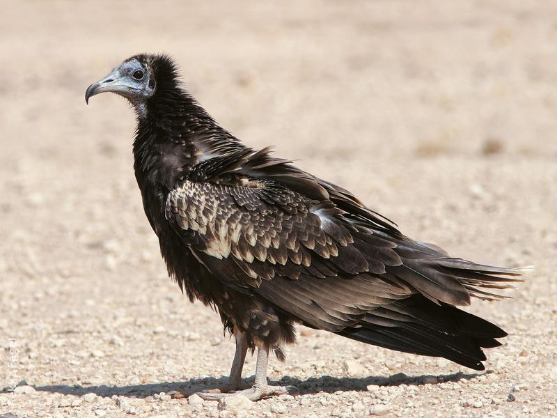 Egyptian Vulture (Juvenile)