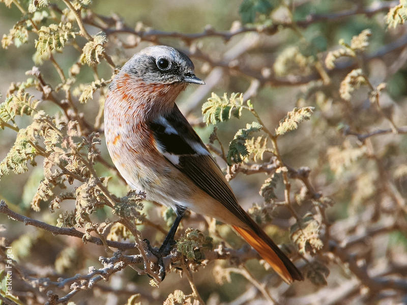 Eversmann's Redstart (Male winter)