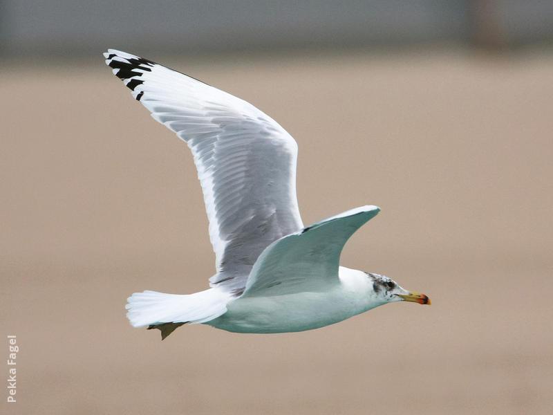 Great Black-headed Gull (Winter)