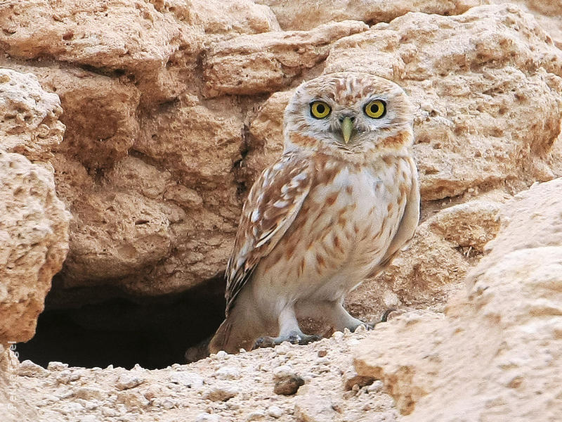 Lilith Owlet (At nest hole)