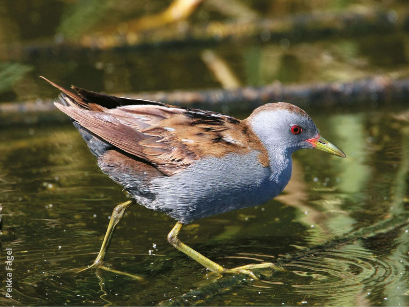 Little Crake | KuwaitBirds.org