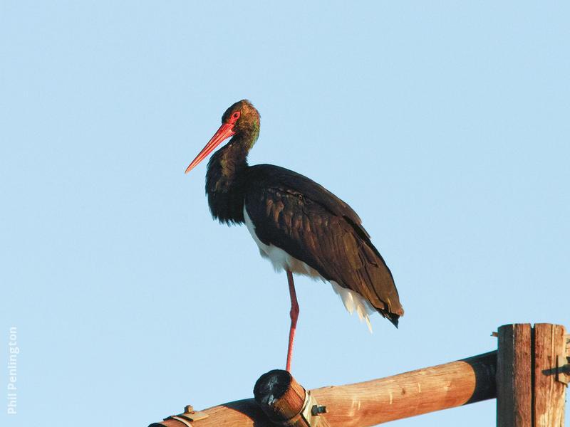 Black Stork (SOUTHAFRICA)